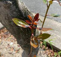 これはなんという木の葉っぱか分かりますか?