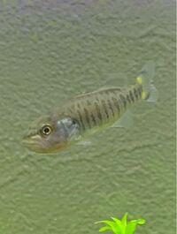 多摩川の丸子橋付近で写真の魚を捕まえました。 まだ稚魚だと思うのですが、何という魚なのか教えて頂きたいです。