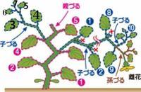メロン、ころたんのプランター栽培について教えて下さい。 HPには9枚目の葉の脇から出た孫づるを伸ばすと説明にありました。 HPの画像では3.4.5.6.7の葉の番号がなかったのですが葉の数え方は私が記入した黒の番...