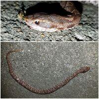 このヘビはアオダイショウの幼体でしょうか?  いつもお世話になっております。 昨夜玄関先でヘビが死んでいるのを家族が発見しました。最初マムシかと思ったのですが、これはアオダイショウ の幼体ですよね?