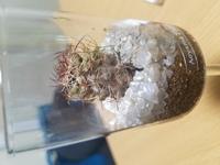 半年前に購入したサボテンが、白カビのようなものが生えてしまいました。このサボテンは、枯れてしまっているのでしょうか。 日にはあまり当てず、室内で育てています。 水やりは一週間から二 週間に一度、水や...
