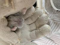 ジャンガリアンハムスターです。 生後2カ月のメスとして2匹迎えたのですが、 1匹はオスのような気がしてます。 どなたか判る方いらっしゃるでしょうか?
