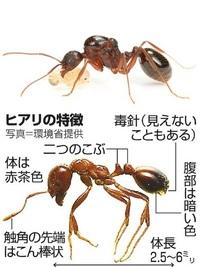 ヒアリの毒はアリ同士には効果ないのですか? アシナガアリが防いでくれている? 近年、強い毒性を持つヒアリが日本でも見られるようになり、注意が呼びかけられています。 数日前に横浜港でもヒアリの姿が確認されたようです、外国からのコンテナに紛れ込んでくるようですね。 https://news.yahoo.co.jp/articles/2ca4c96ddde8dd4b5935babe9b401e...