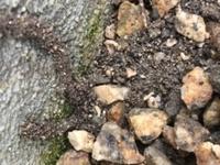 家に蟻道が出来ました 軽く触ってみたら白い蟻が出てきました シロアリですか?