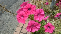 植物です。 ペチュニアかな?とも思うのですが。。。 初めて見たお花なので。。。 名前教えて下さい。 宜しくお願いします。