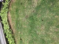 雨上がりの朝の庭の様子です。 これは誰の仕業でしょうか? モグラにしては小さいようです。 息子はミミズの糞だと言うのですが‥