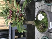 ホームセンターで見つけた 1480円の小品盆栽なのですが 初心者でも育てやすいですか?  こちらの仕立ては良いものですか? お詳しい方、ご教示頂けましたら 幸です