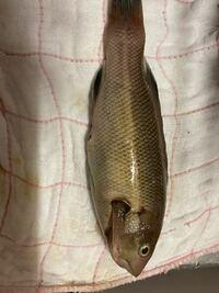 この魚は何て言う魚ですか? 口がベラっぽいから ベラでしょうか?