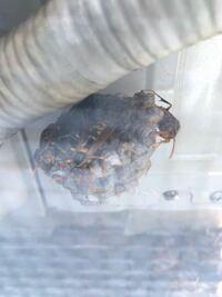室外機のホースに巣を作っていました。 アシナガバチでしょうか?
