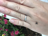 家庭菜園でプランターで育てているピーマンと大葉にこの虫が何匹もいます。 この虫は何という虫ですか? 今のところ被害がそれほど目立たないのですが、駆除した方がいいでしょうか? 教えて ください。