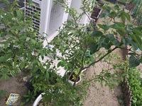お義母さんが買ったライラック(らしい)なのですが、接ぎ木した苗で、ライラックではなく土台となっている木の方がどんどん成長しています。(右側の大きめの葉のほうがライラック、左側の花芽が 付いている方が台木です)  昨年はライラックも咲いたのですが、今年はとうとう花を咲かせることがありませんでした。何年も前に買った苗らしいですが、大きい鉢に植えてあり、肥料などは特にせず放置気味です。  ...