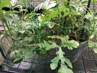小玉スイカを鉢で 育ててます。  根元の葉っぱが枯れてしまいました。 これは根っこがだめですかね? このスイカはもう収穫できませんかね?  子供と育ててたので ちゃんと育ててあげた いです!