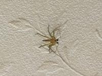 この虫(恐らくクモ)の名前を教えて頂けないでしょうか?   部屋の中にいたのですが、人体に害があるかどうか調べたいので、どうぞよろしくお願い申し上げます。