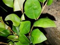 この木は何ですか?対生で葉身5㎝、葉柄1㎝くらいで、枝に多くの粒状の隆起があります。