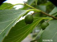 センダンの葉っぱですか? 高さ10mほどでびっしり葉っぱが付いてました、 岐阜県美濃加茂市飛騨川で、 撮影 20200626