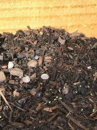 ハーブのプランターに、昨日までなかった謎の植物がたくさん生えています。 この植物が何か分かる方いらっしゃいますか? 一見きのこのようにも見えますが、茎は長く、全体的にペラペラしています。 気味が悪く、...