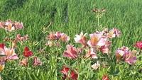 このオレンジ色(ピンク色)の花の名前を教えてください。