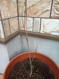 このキンモクセイは枯れてしまったのでしょうか?  今、画像の通りなのですがこれは枯れてしまっていますか。 植えたのは1年半ぐらい前です。 半年前から葉の色が変色して落ちてしまい、枝 の先のほうが黒っ...