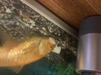 金魚に白い出来物ができていますだんだんデカくなってきています これはなんでしょうか