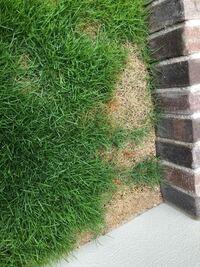 芝生が生えない箇所について、原因と対策を教えて頂きたいです。 今年より育てている芝生について、順調に育っている箇所と、全く育たない箇所が発生しています。  どうして、このような違いが生まれるのか、 ま...