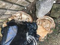 数年前にシマトネリコを、切り株にして腐らせる為に黒ゴミ袋をかぶせてたのですが、 きのこが生えてきてどんどん大きくなります。悪いキノコではないでしょうか。 とってもとっても出てくるの ですが、切り株ご...