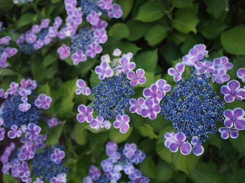 この紫陽花が欲しいのですが、種類が分かりません。 画像はとしまえんで咲いていた画像をお借りしたのですが、メルカリでも同様の紫陽花が出品されていました。 欲しかったのですが売り切れてしまっていました。 回答よろしくお願いします。