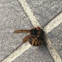 玄関前で死んでたのですが、この蜂の種類は何かわかる方いらっしゃいますか? 子供が気になって気になって仕方ないみたいです。   宜しくお願い致します。