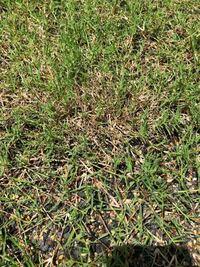 ティフトン芝を植えて約1ヶ月半が経ちました。順調に育っていて、三回程芝刈りをしたのですが、3回目の芝刈り以降茶色い部分が増え、若干成長が鈍くなった気がします。 毎回芝刈り後、枯れた様な部分が、出ては...