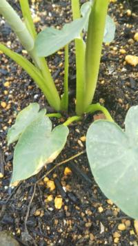 家庭菜園で里芋を育てています。太い芽が2本生えていてそのままにしておいてるのですが、1本抜いて1つにした方がいいのでしょうか?それともこのまま育てて大丈夫でしょうか?