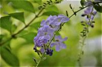植物ですが。。。 友達がニオイバンマツリだと言います。 そうかなあ。。。どうも違うような。 名前が解りません。 宜しくお願いします。