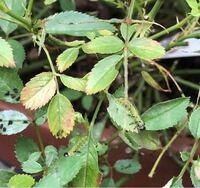 この幼虫はについて… ミニバラにビックリするくらい大量に発生し葉っぱをほとんど食べられてしまいました。 糞もたくあります。 この幼虫は何でしょうか?  見つけてすぐに、「ベニカX」をスプレーし、食べられた箇所や糞が残っていので、全体的に短く剪定したのですが、消毒などしたほうがいいのでしょうか? アドバイスをお願いします。