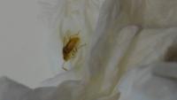 ゴキブリの幼虫について教えてください。 室内でこの画像の虫を見つけ、ゴキブリの幼虫かと思い急いで駆除したのですが、やはりゴキブリの幼虫で間違いないでしょうか?
