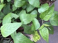この植物は何て名前ですか? 大葉かな?と思って抜かずに育ててたら、どうやら大葉ではなさそう。