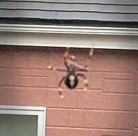ベランダでクモがせっせと立派なクモの巣を作っていました。 この時期はベランダを使用しないので良いのですが、正体が知りたいので教えてください。  体長5センチ位、全体は黒い、 背中に 白いライン、足は白黒2色…です。