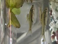 子供が池で釣ってきました。 この魚の名前は何ですか? エサもわかると有り難いです。