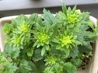 この植物は何でしょう? 紫蘇や大葉のようにも思いましたが、紫蘇や大葉のにおいは全くしません。 前回も同じ植物について質問しましたが、結局、今も分からないままで、さらに成長しましたの で、さらに写真を添付します。 よろしくお願いします。
