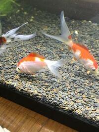 金魚の種類について教えて下さい。 金魚屋さんで勧められて朱文金、コメット、更紗三尾和金を購入しました。 しかし、どれが更紗三尾和金か把握できてないままです、、 写真に写ってる尾びれが長い金魚はコメット...