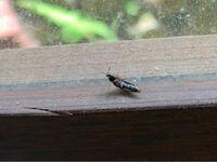 黒い虫 飛びますし 歩きます お尻が上下にクネクネする この虫の名前は何ですか?  大量発生 黒い虫 くねくね
