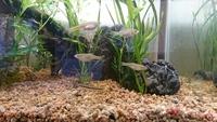 多摩川で採取した、小魚の種類が判らないので教えて下さい よろしくお願いします