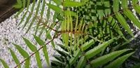 この植物はなんという植物でしょうか? 葉っぱが山椒のような匂いがしますが、山椒とははの形が違うようです。