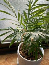 百均のテーブルヤシ君育ててます これってなにが原因ですか? 日光強すぎて葉焼けしてます?ここの窓際だと… それとも根腐れですか? どなたか回答お願いします。。。  観葉植物 / テーブルヤシ / 植物 / 葉焼け / 根腐れ / ヤシ / 植物