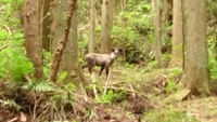 この鹿は特別天然記念物の 『ニホンカモシカ』ではありませんか? 愛知県の足助付近で標高250mの超低山の山中の登山道で国道から街から たいして 離れていない所に 『カモシカ』が居て いいんでしょうか? コロナ...