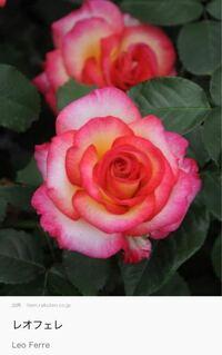 このバラに似ているバラはありますか?