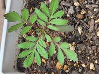 マリーゴールドの葉です。  葉や茎もぴんとしていて元気ですが、この並んだ黒っぽい斑点が気になっています。 大手メーカーの培養土のみでここまで育っています。 この斑点がなにかわかる方 いましたら、教え...