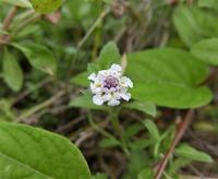 ランタナに似た花を見つけましたがその野草の名前をお願いします。