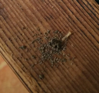 白蟻でしょうか?キクイムシの幼虫でしょうか? 築40年の床の木です。  穴の近くに木屑が山となっていたので、キクイムシだと思っていたのですが、今日見たら何やらモゾモゾしていて、動画も撮ったのですが、白っぽい虫が出てきました。  やはり白蟻? でも白蟻は外にはでないとも聞きますし、、、。  何の虫でしょうか? アップにしすぎて画像が荒くてすみません。 穴の奥にもまだもう一匹(もしくはもっと?)...
