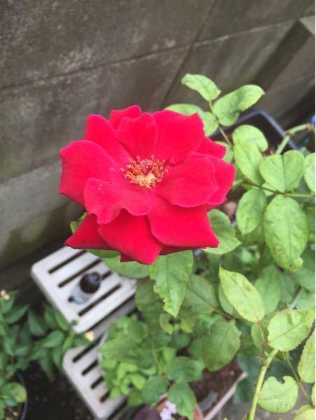 写真のバラの品種が知りたいのですが、ご存知の方はいらっしゃいますでしょうか?? 「もしかしたらこの品種かも」というのがあれば教えていただけると嬉しいです!