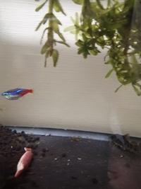 このネオンテトラ‥食べ過ぎですか‥?? 熱帯魚