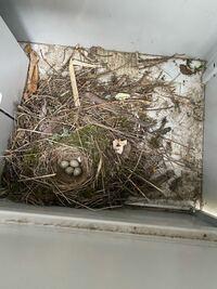北海道道東の会社の外にあるオフィスラックに白と黒の鳥が出入りしているのを見つけ、中の写真を撮ったところ卵がありました。 鳥の大きさはカラスと雀の中間くらいの大きさでした。 卵の大きさは5センチに満たないと 思います。 なんの鳥でしょうか? また、何か気をつけるべきことはありますか? 餌などは置くべきですか? 無事孵化して巣立って欲しいと思っています。