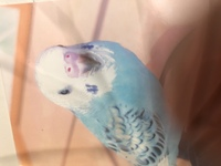 生後1ヶ月ほどのセキセイインコの雛の写真なのですが、ここに見られるくちばしの下のひげのような毛の名称は何ですか?